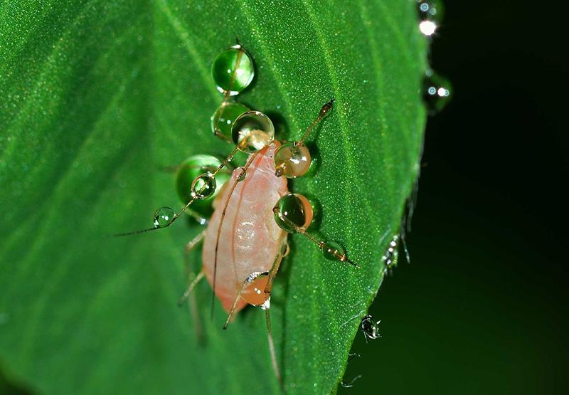 Billede af bladlus på blad
